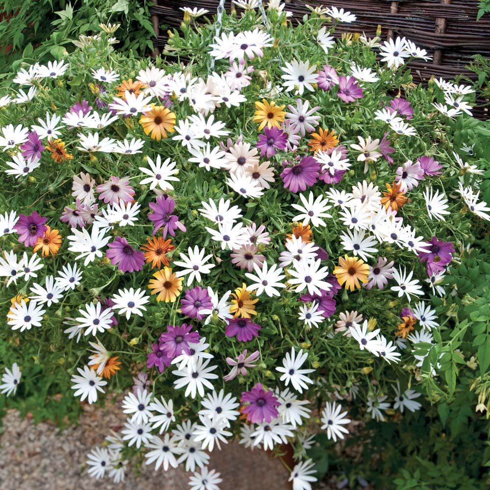 Plants & Seeds Osteospermum 'Falling Stars'™ (Sunbrella)
