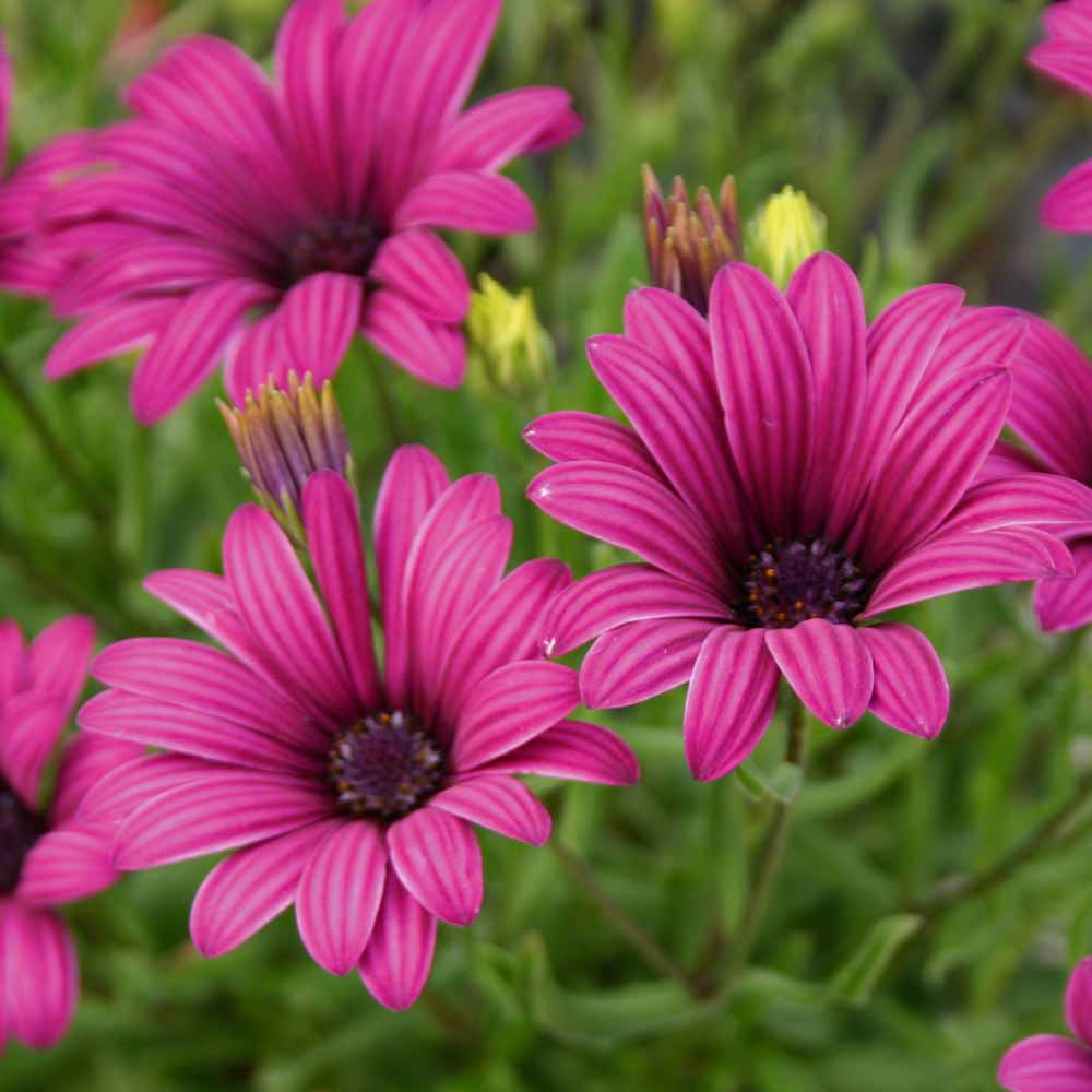 African daisy at thompson morgan izmirmasajfo