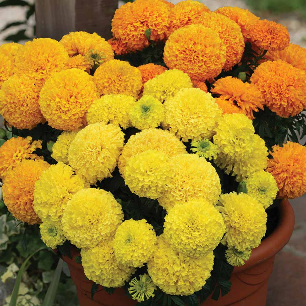 Image of Marigold 'Dune Mixed'