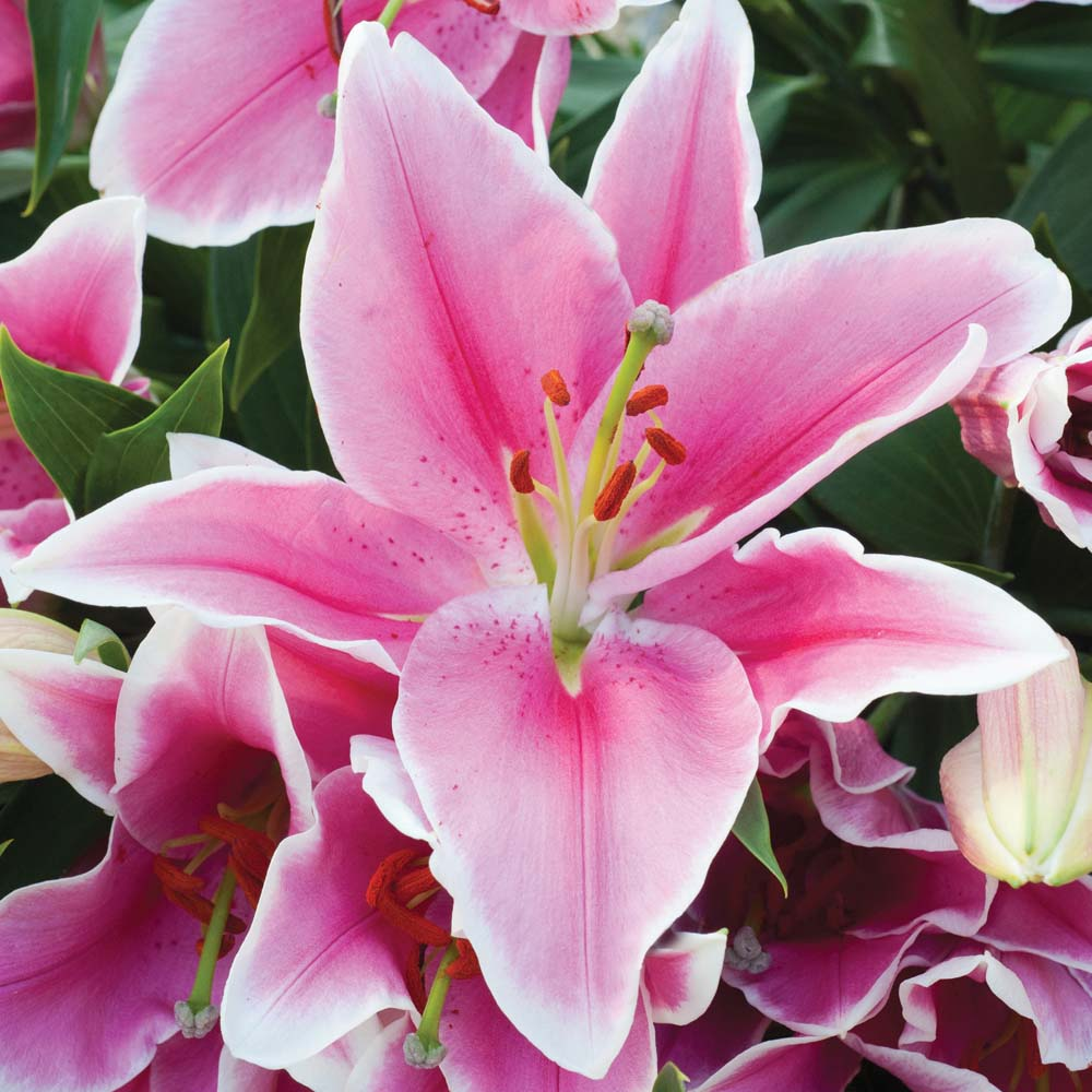 Scented Lilies At Thompson Morgan