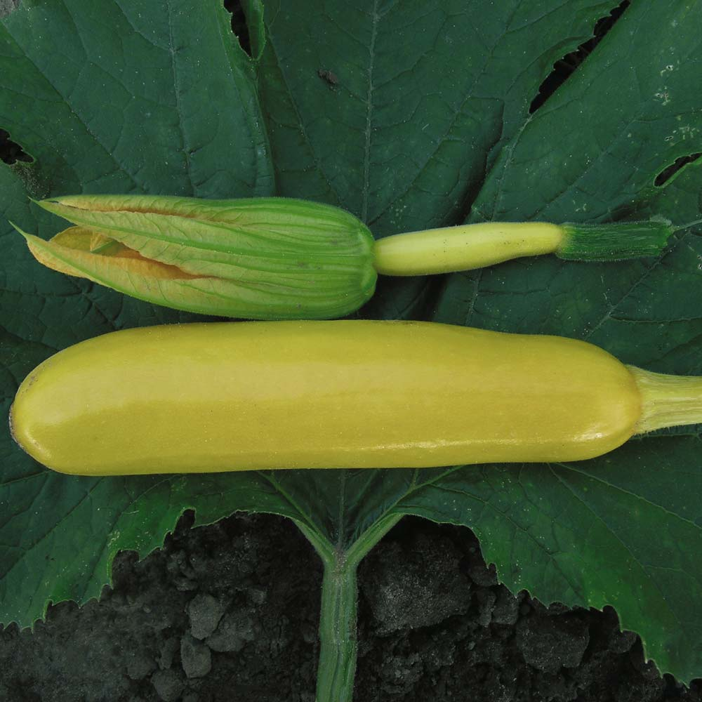Image of Courgette 'Soleil' F1 Hybrid