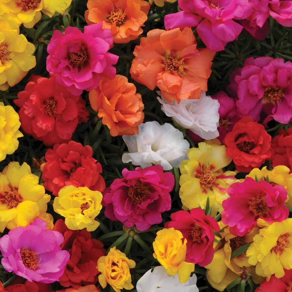Цветы портулак в картинках