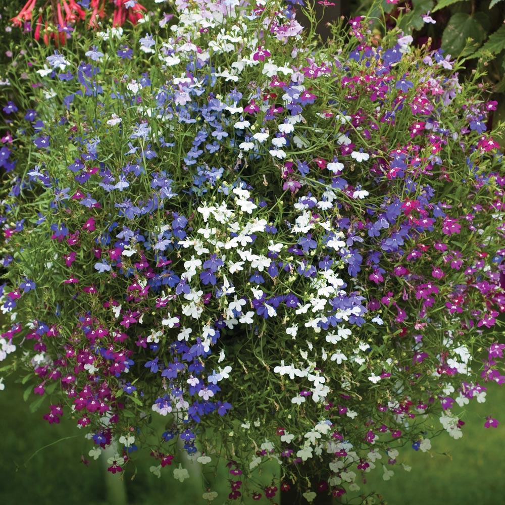 Thompson Morgan 1750 Seed Flowers White Cascade Trailing Lobelia