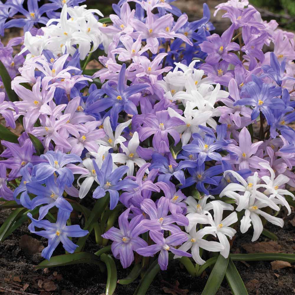 Blue Spring Bulbs At Thompson Morgan