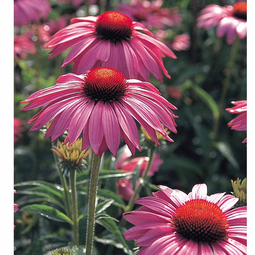 Low growing perennials at thompson morgan mightylinksfo Image collections