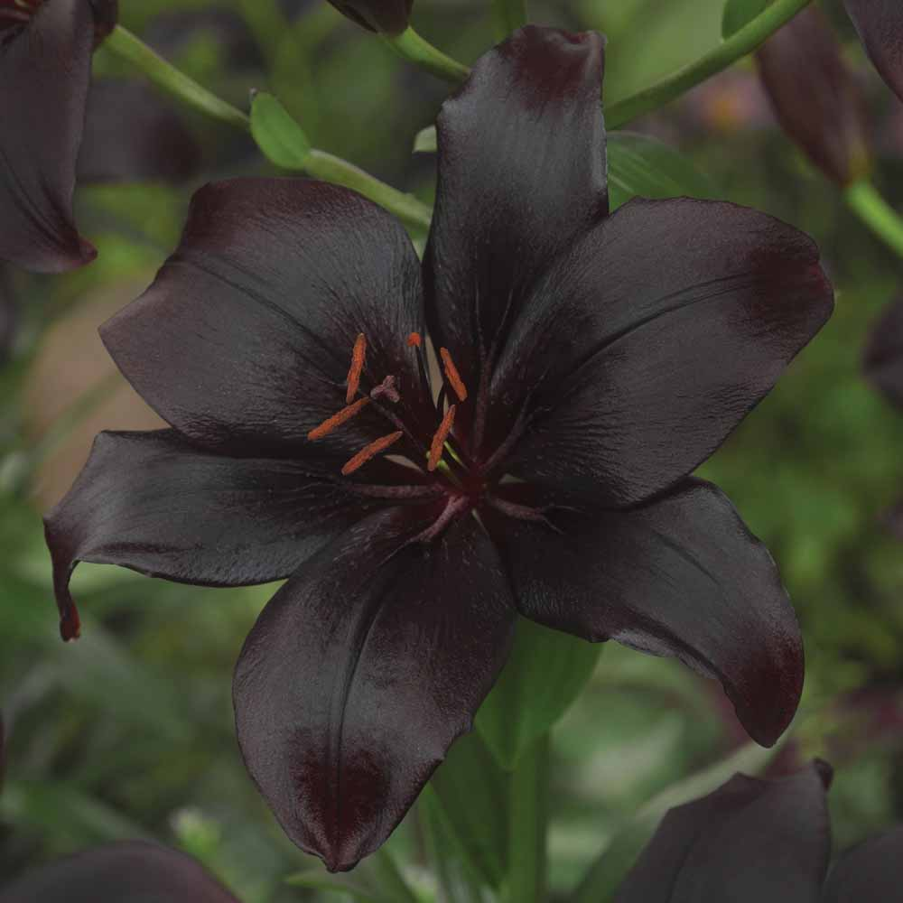 Black lillies flowers meaning flowers healthy lily bulbs at thompson morgan black lillies flowers meaning izmirmasajfo