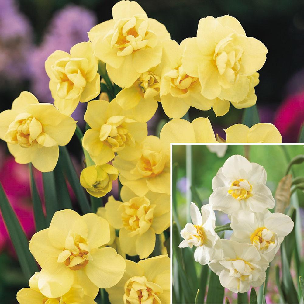 Image of Narcissus 'Cheerfulness Duo'
