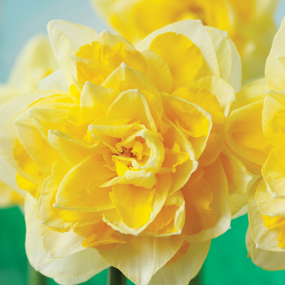 Image of Narcissus 'Dick Wilden'