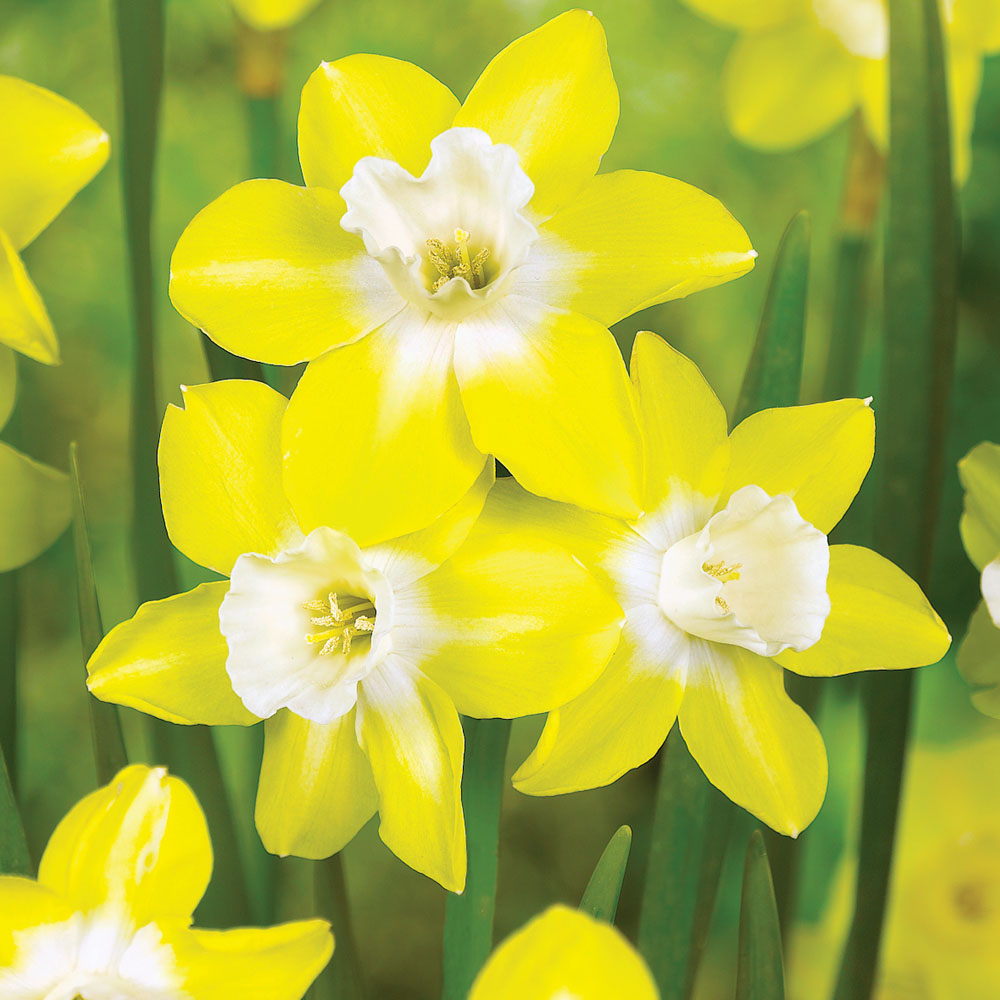 late flowering daffodils at thompson morgan