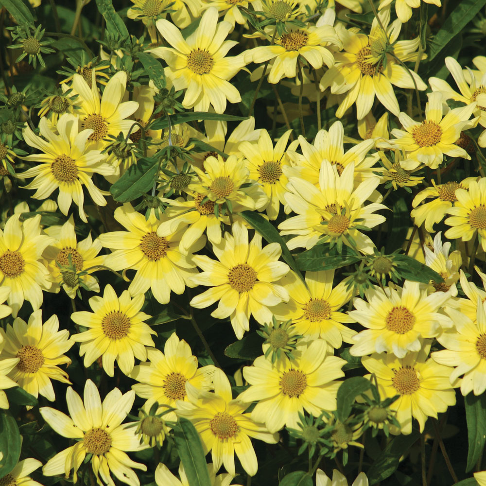 Yellow annuals at thompson morgan izmirmasajfo Image collections