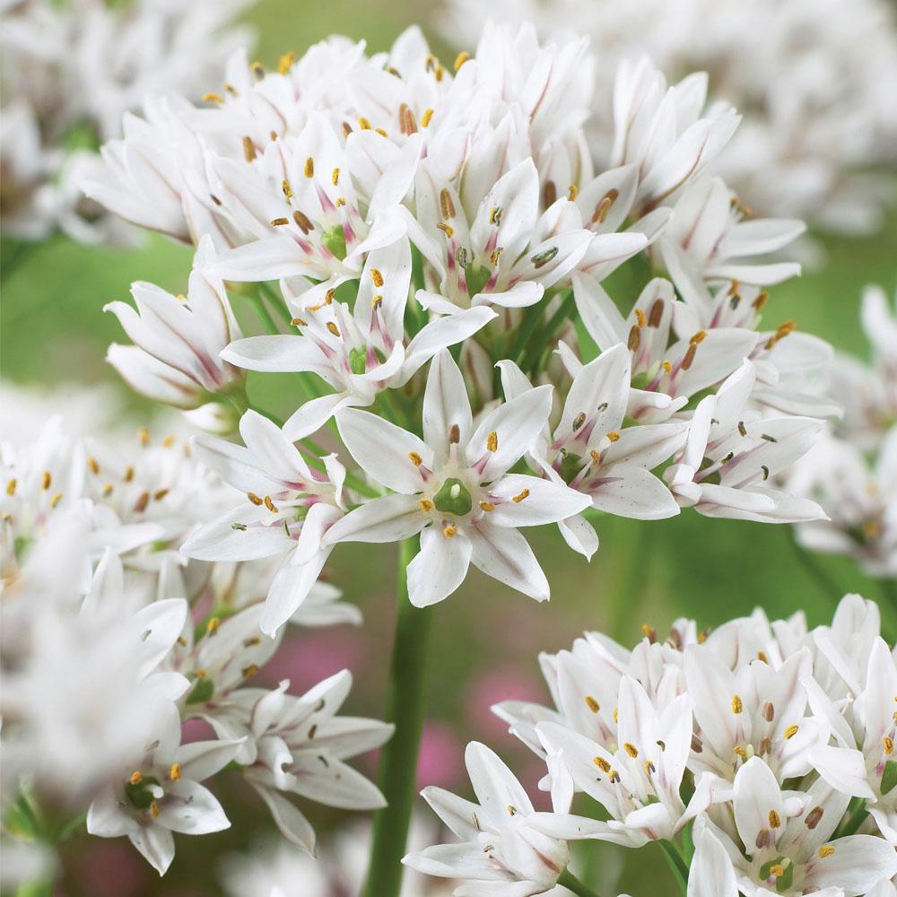 Image of Allium ramosum