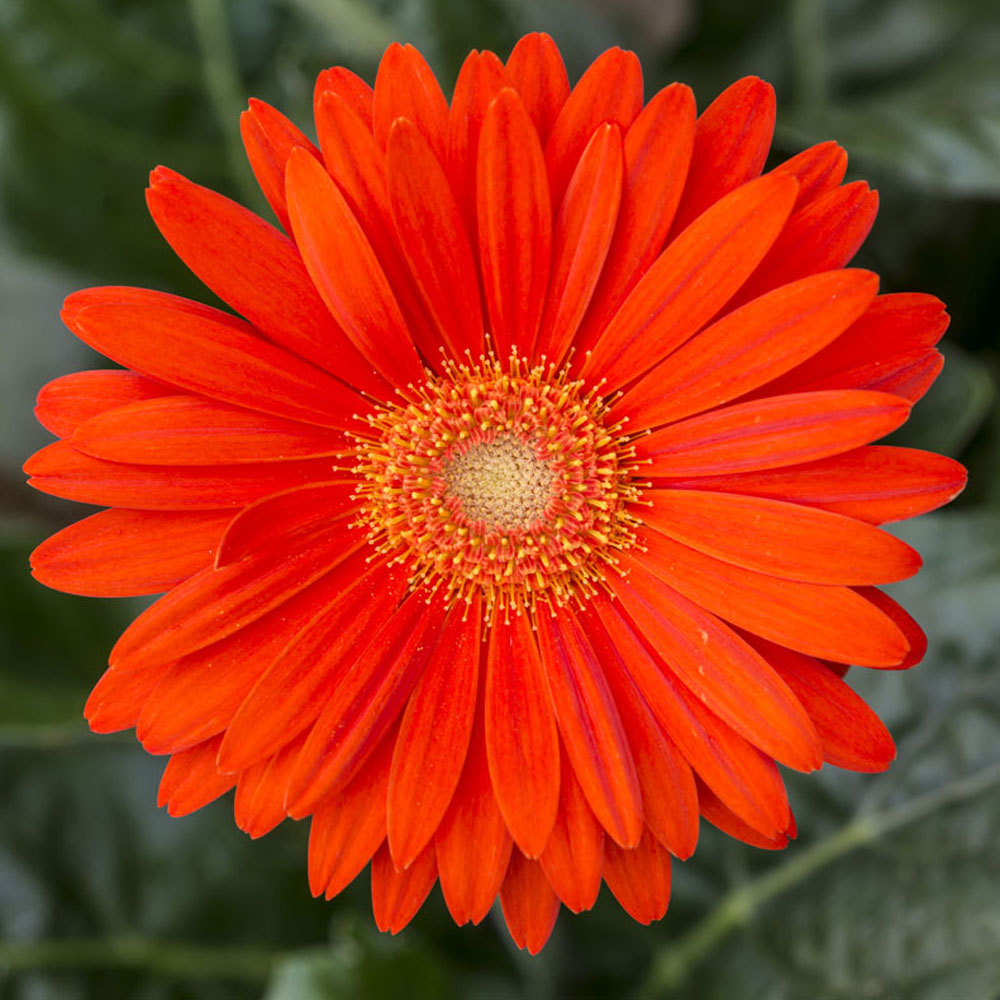 Perennial daisy at thompson morgan izmirmasajfo Gallery