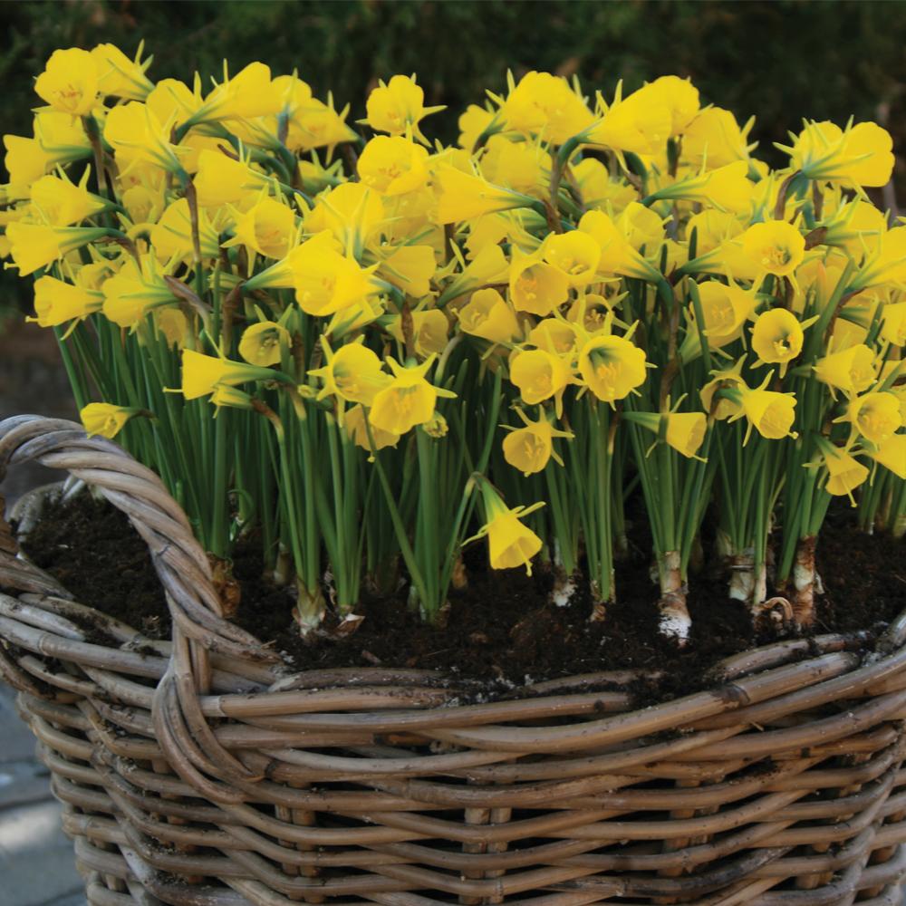 Image of Narcissus bulbocodium