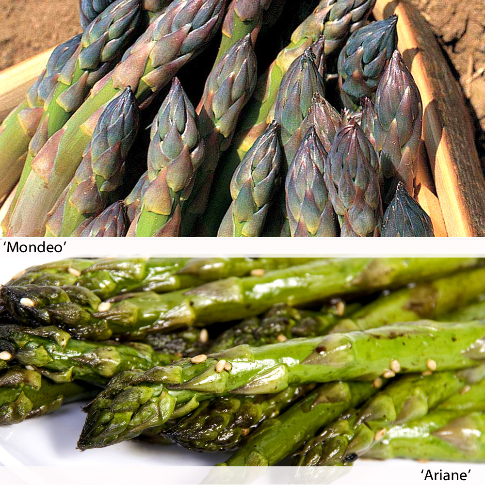 Image of Asparagus Duo (Spring/Autumn Planting)