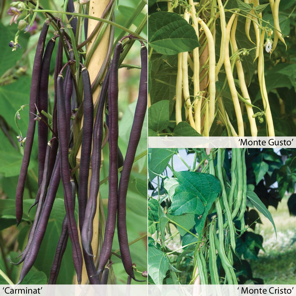Image of Climbing Bean 'Colourful Collection'