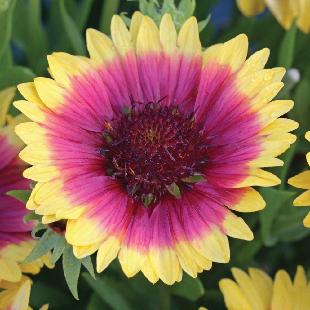 Image of Gaillardia 'Snappy'