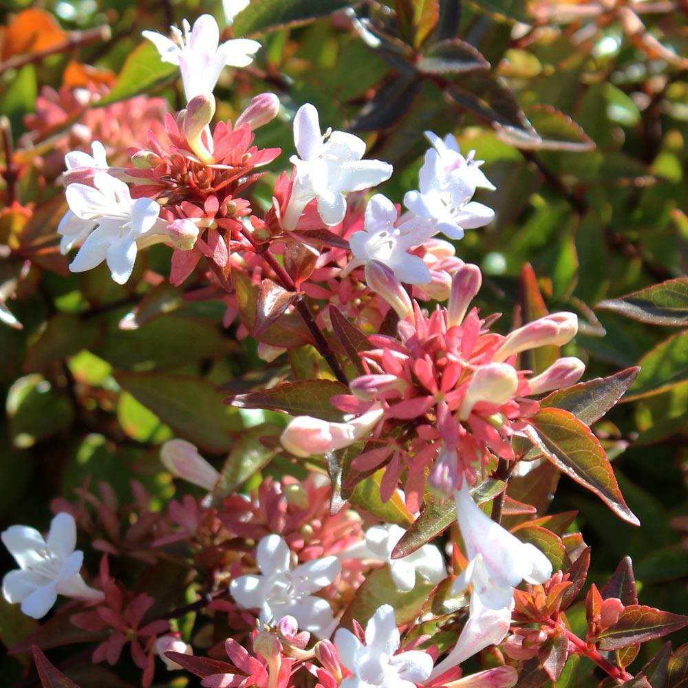 Image of Abelia x grandiflora