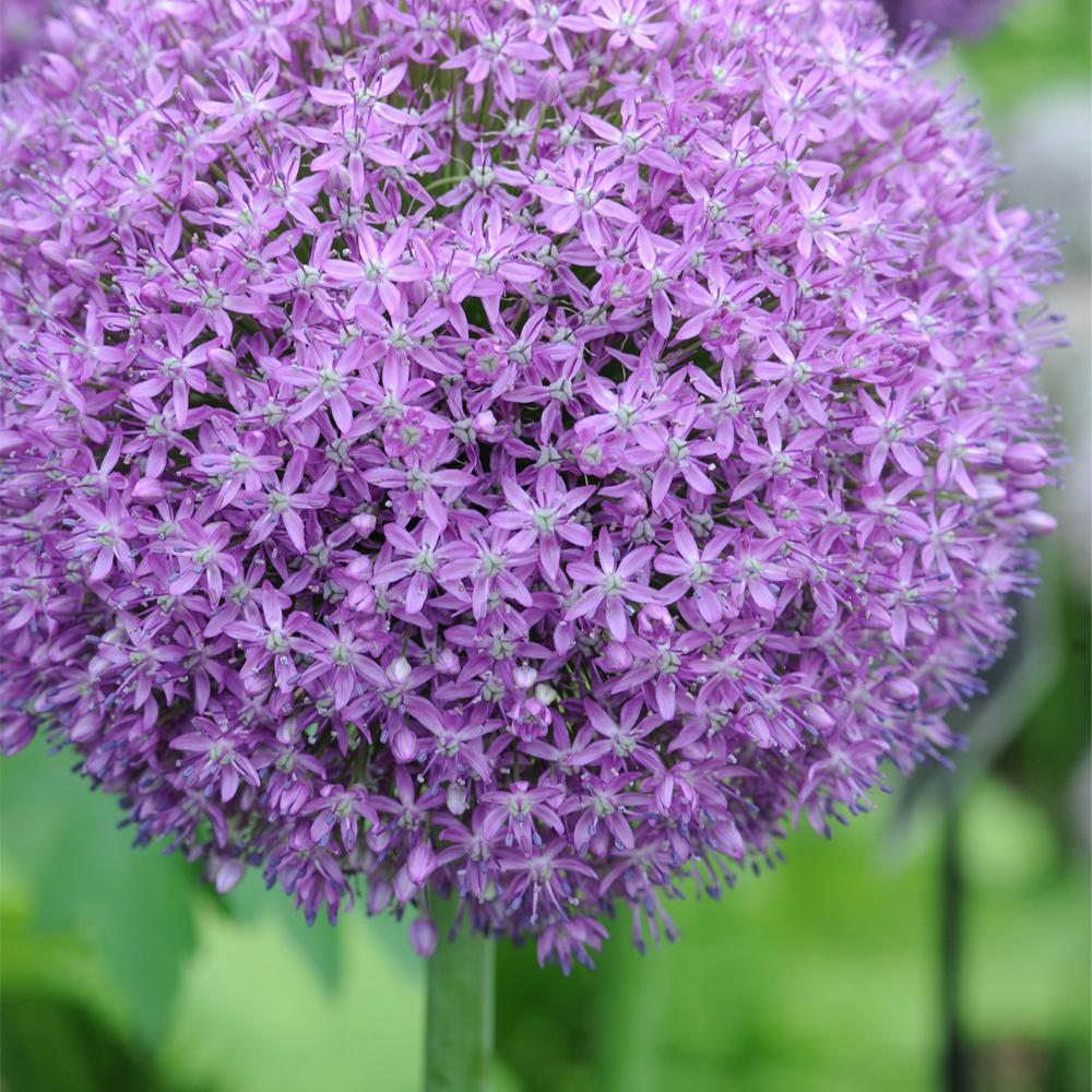 Image of Allium 'Globemaster'