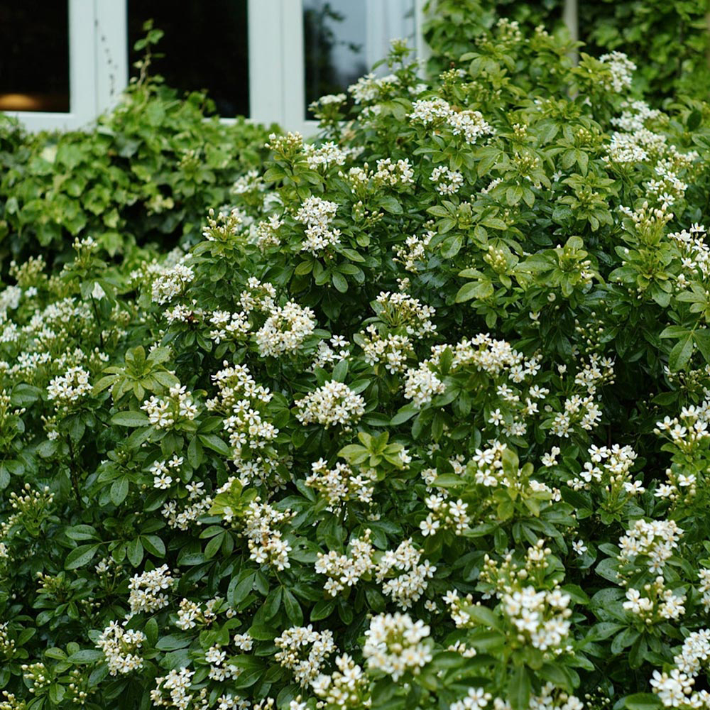 Shrubs White Flowers At Thompson Morgan