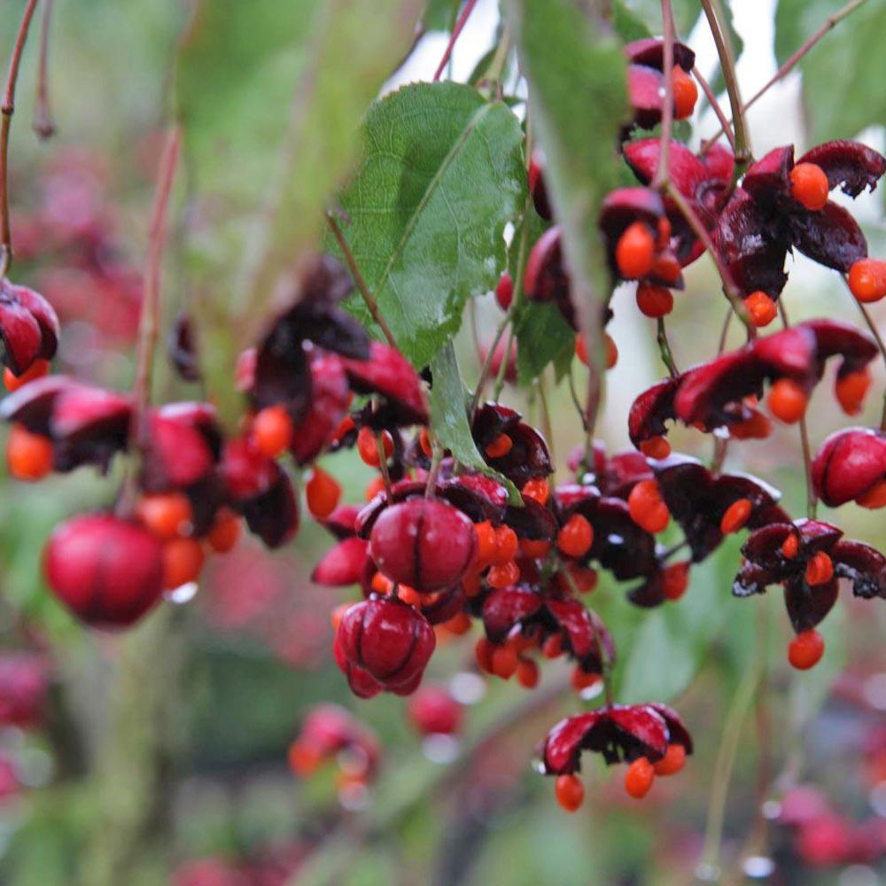 Image of Euonymus europaeus 'Red Cascade'