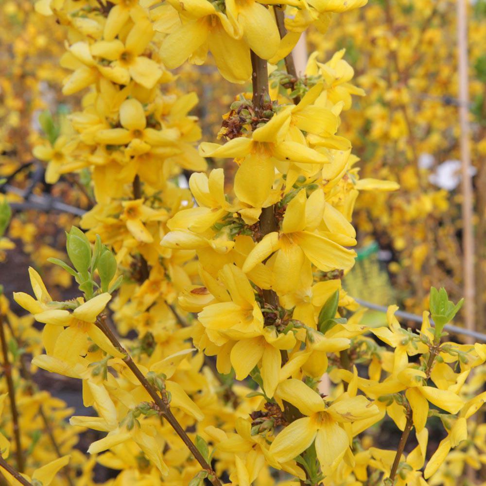 Image of Forsythia x intermedia 'Goldrausch'
