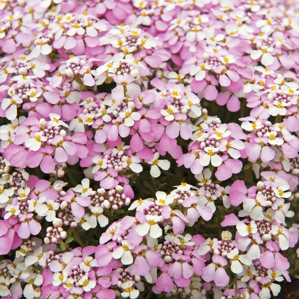 Image of Candytuft 'Pink Ice'