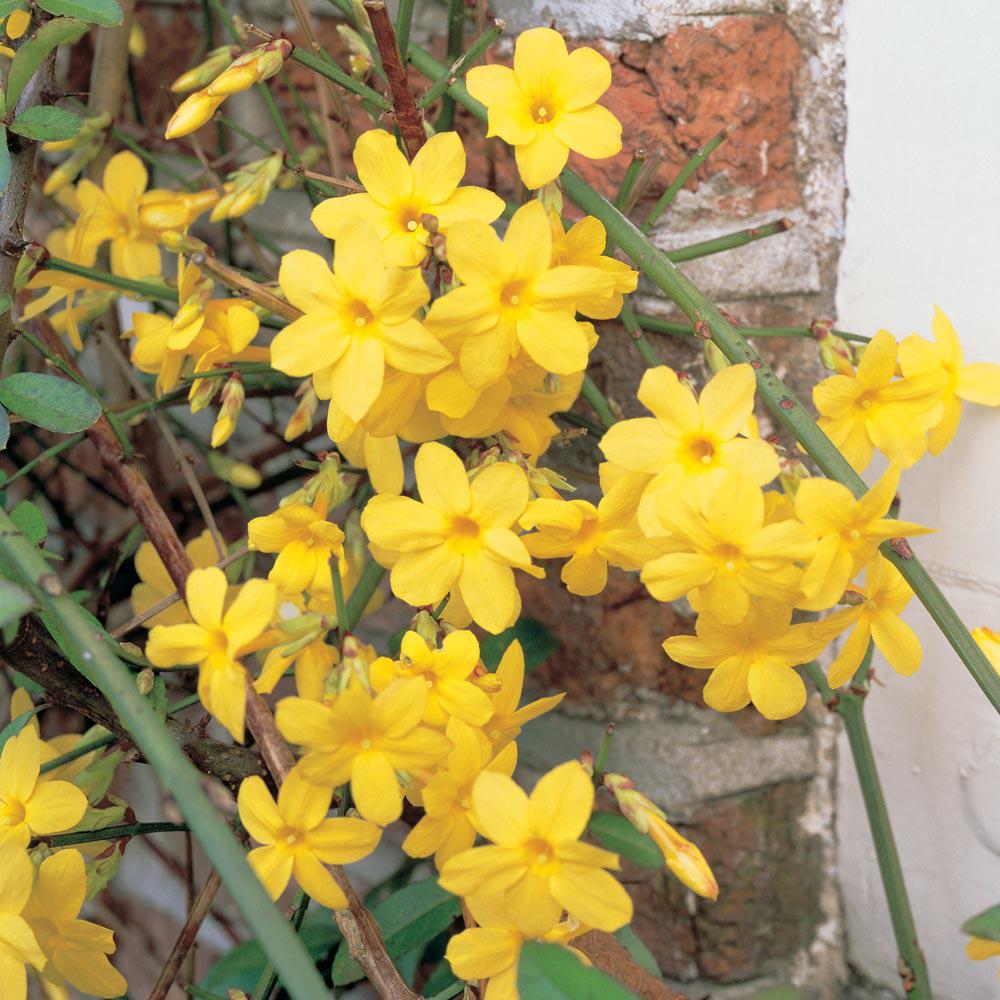 Yellow flowering shrub at thompson morgan mightylinksfo