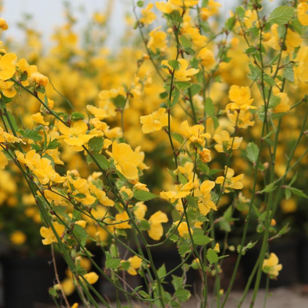 Yellow Flowering Shrub At Thompson Morgan