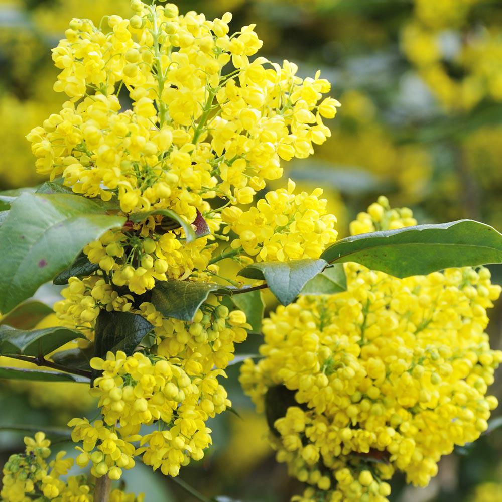 Evergreen shrubs yellow flowers at thompson morgan mightylinksfo