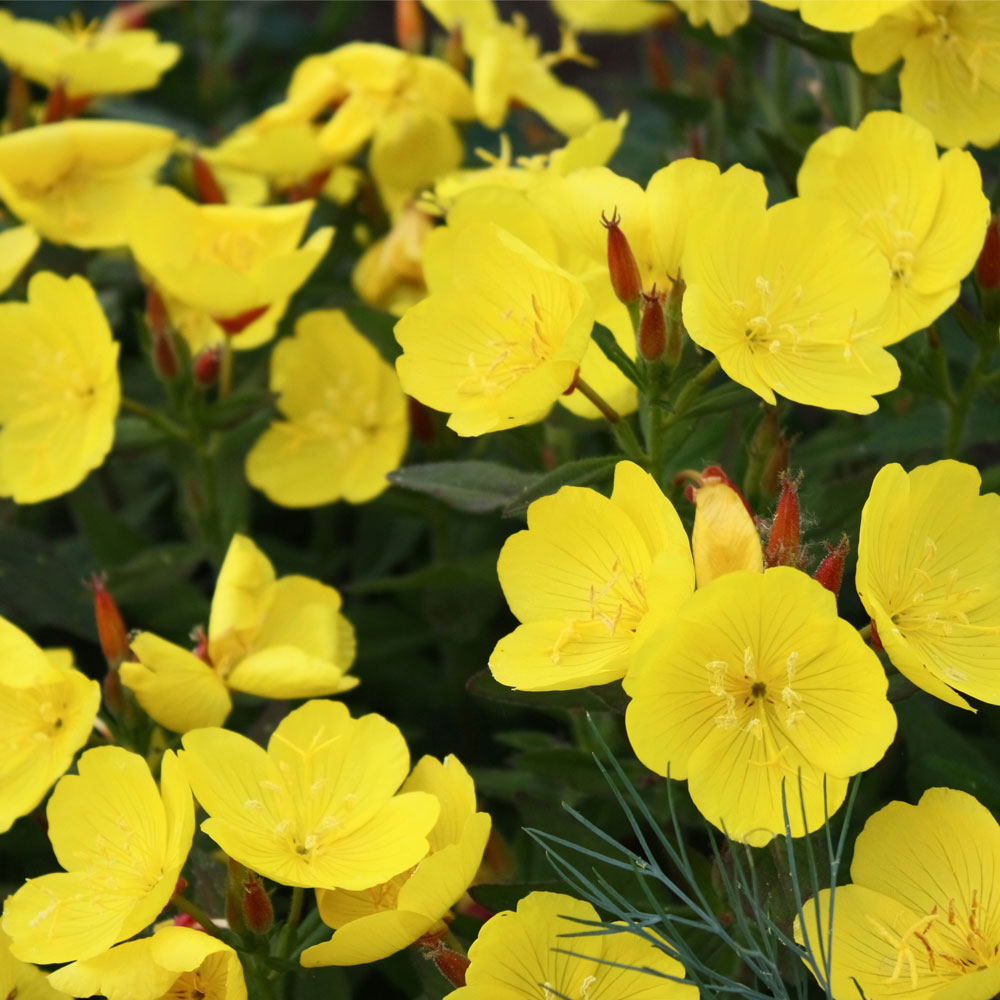 Yellow Primrose At Thompson Morgan