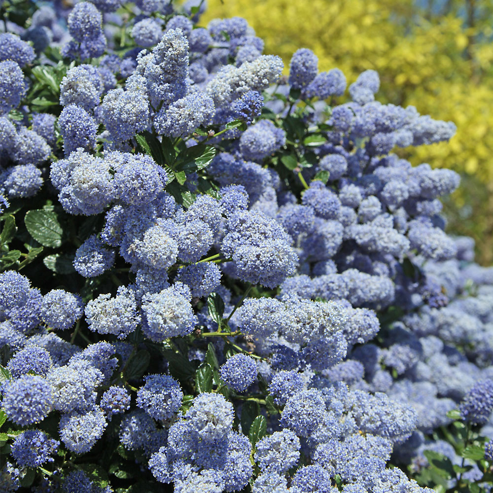 Blue Flowers Plants Stock Photos - m Blue flower shrub pictures