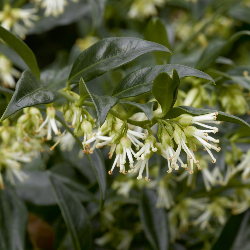 Winter flowering shrubs at thompson morgan mightylinksfo Image collections