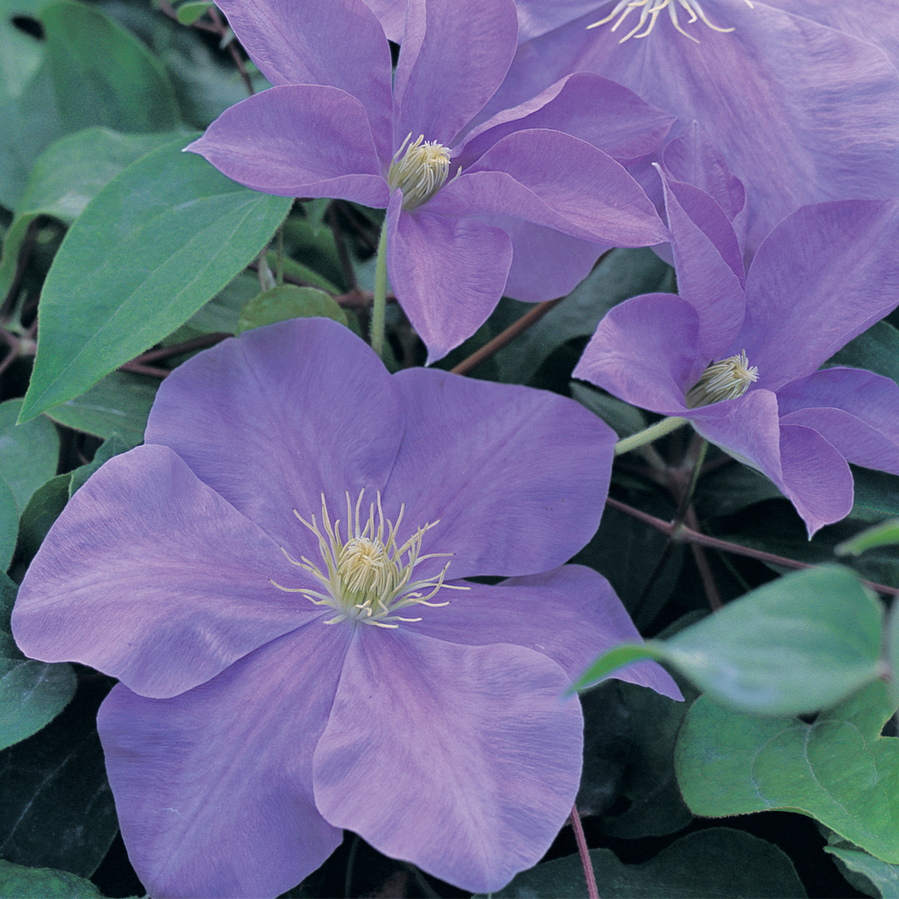 Large Flowered Clematis At Thompson Morgan