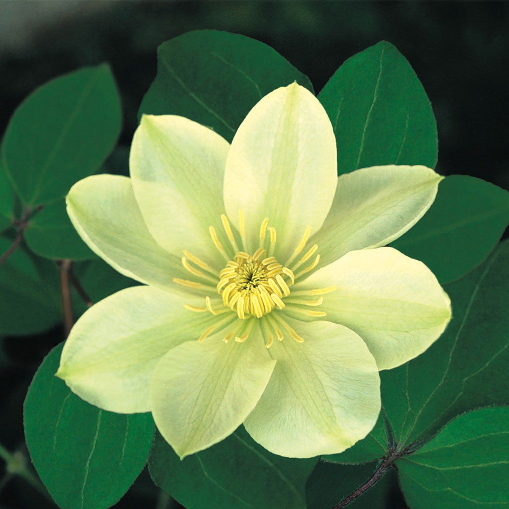 Image of Clematis 'Guernsey Cream'