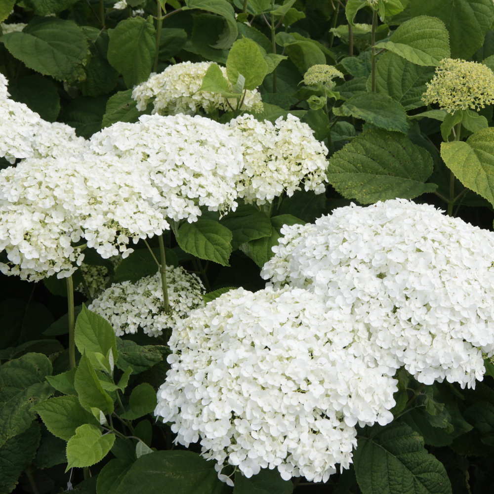Image of Hydrangea arborescens 'Strong Annabelle'
