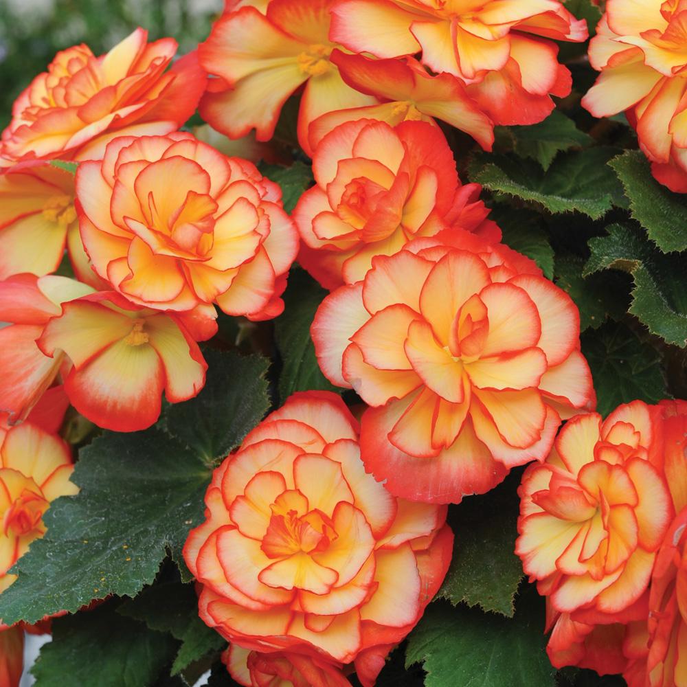 Image of Begonia 'Majestic Golden Picotee'