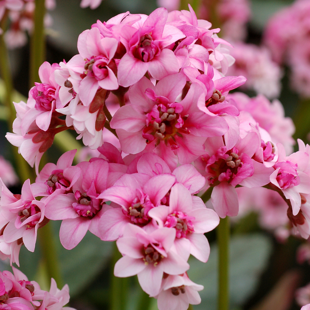 Image of Bergenia 'Pink Dragonfly'