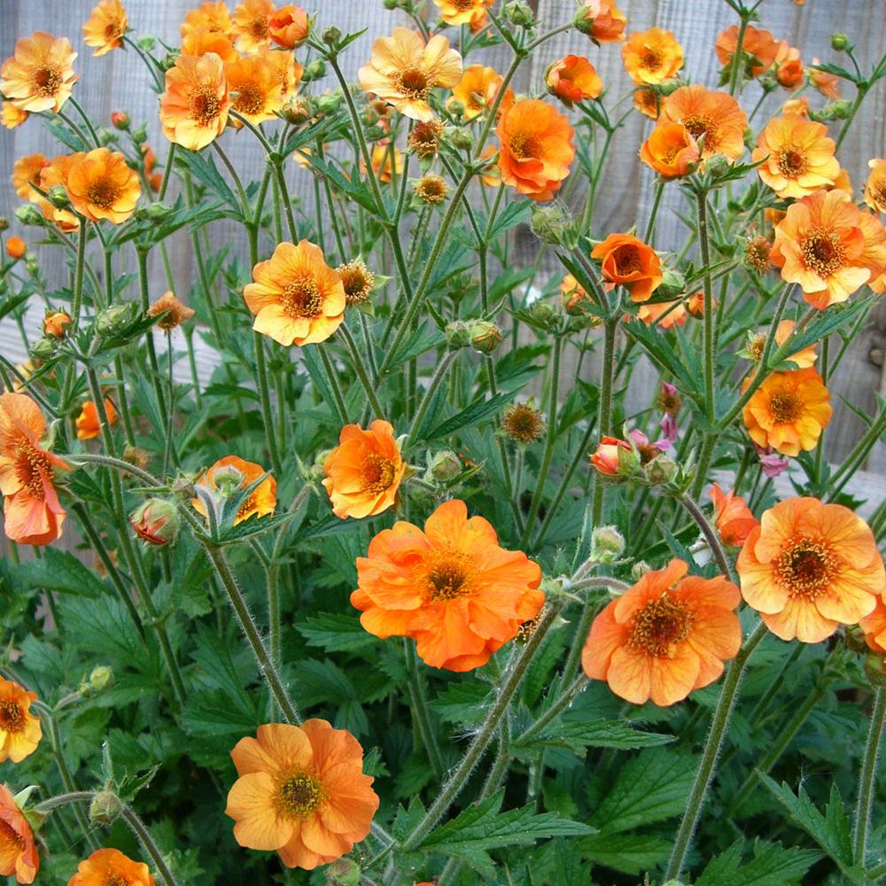 Geum \'Totally Tangerine\'
