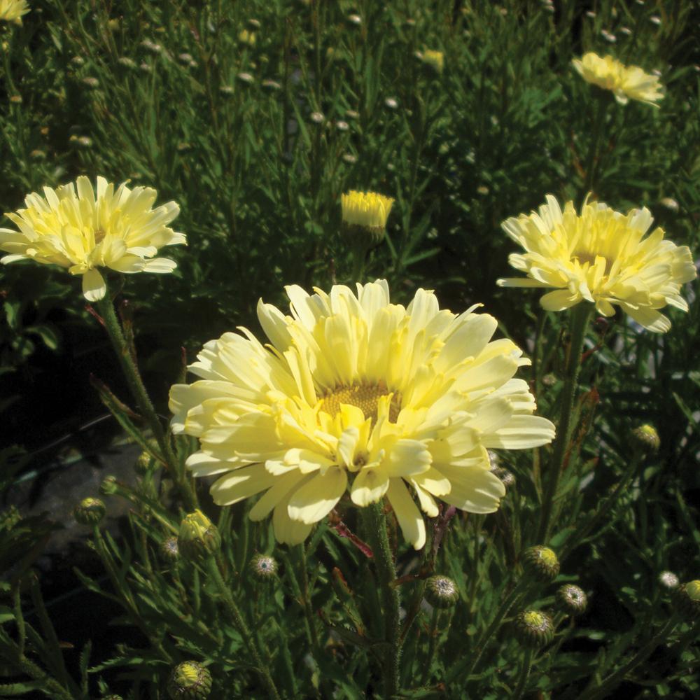 Daisy like flowers at thompson morgan izmirmasajfo