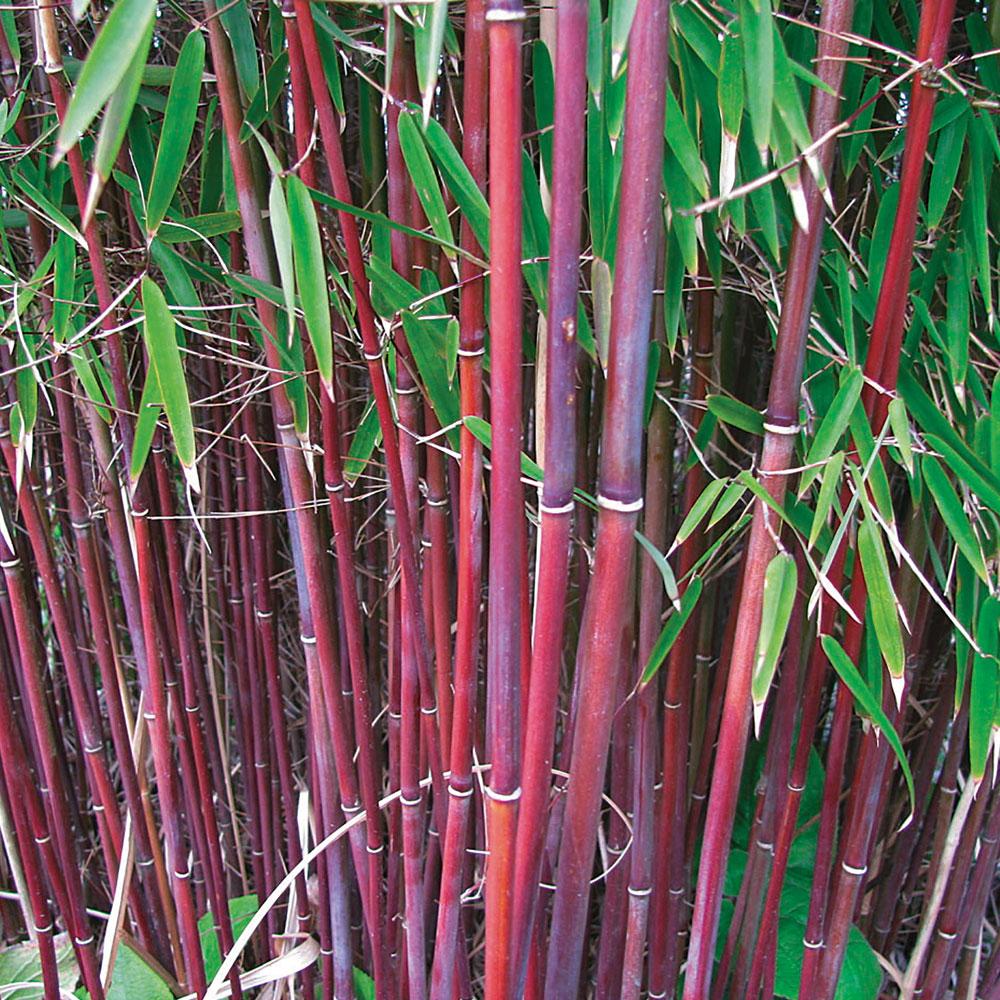 Image of Umbrella Bamboo 'Asian Wonder'
