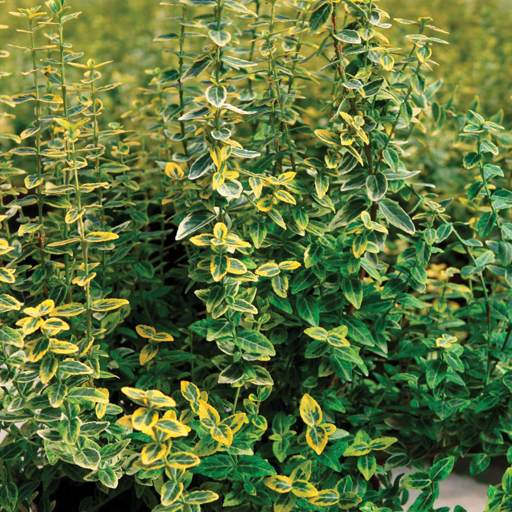 Image of Euonymus fortunei 'Emerald 'n' Gold' (Standard)