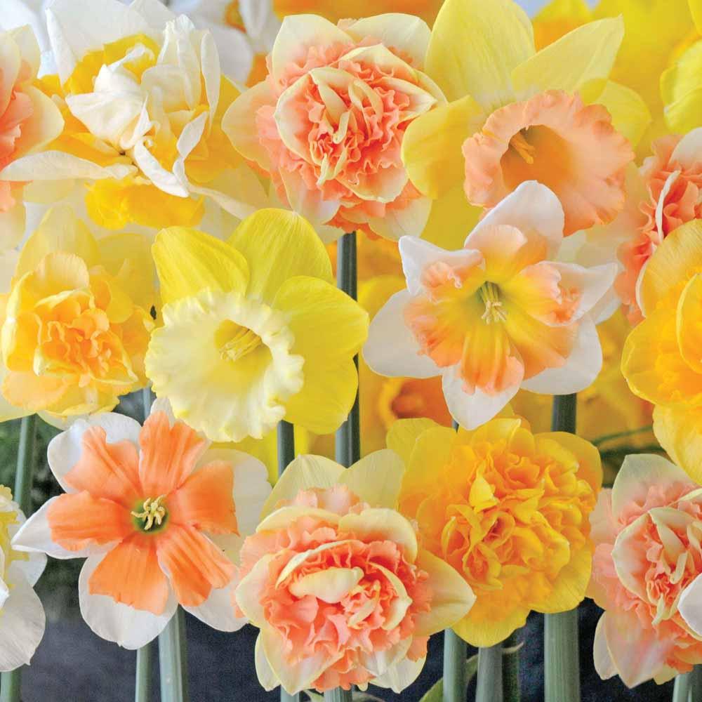 Image of Narcissus 'Citrus Sorbet'