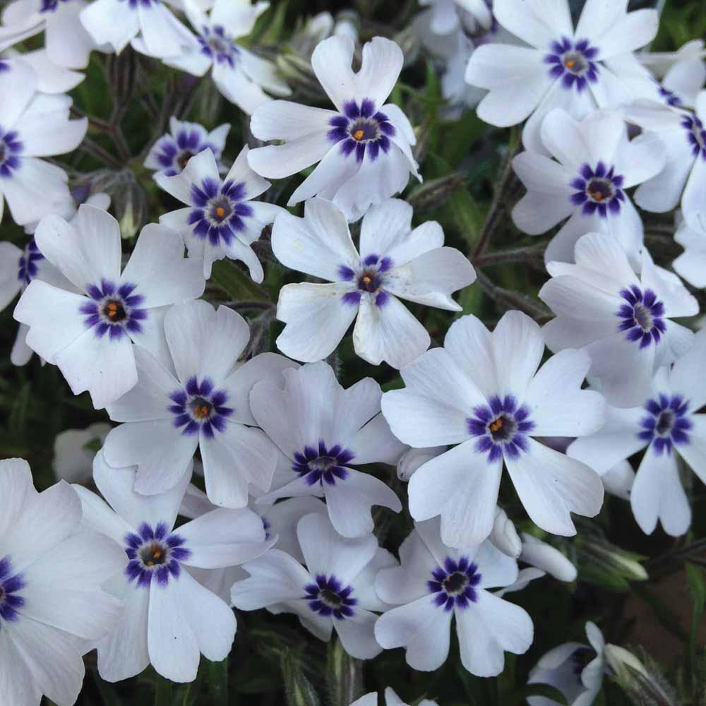 White Perennial At Thompson Morgan