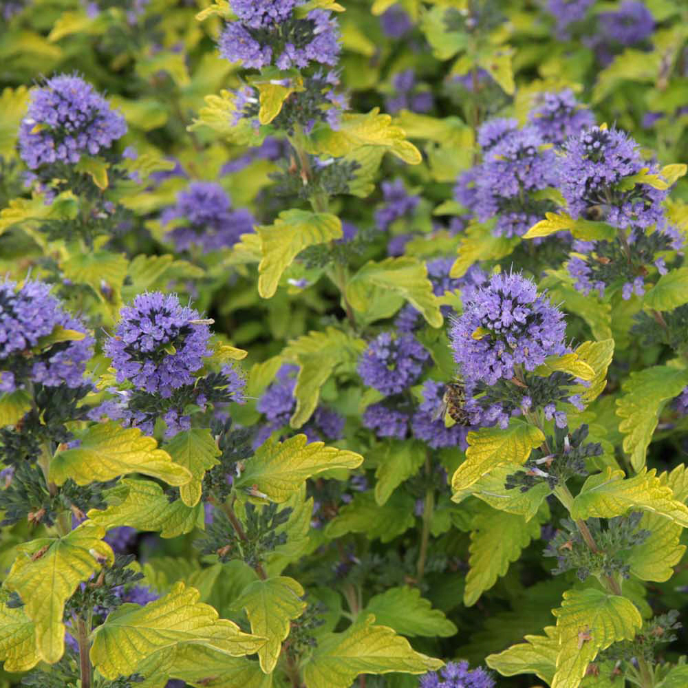 Shrubs With Blue Flowers At Thompson Morgan