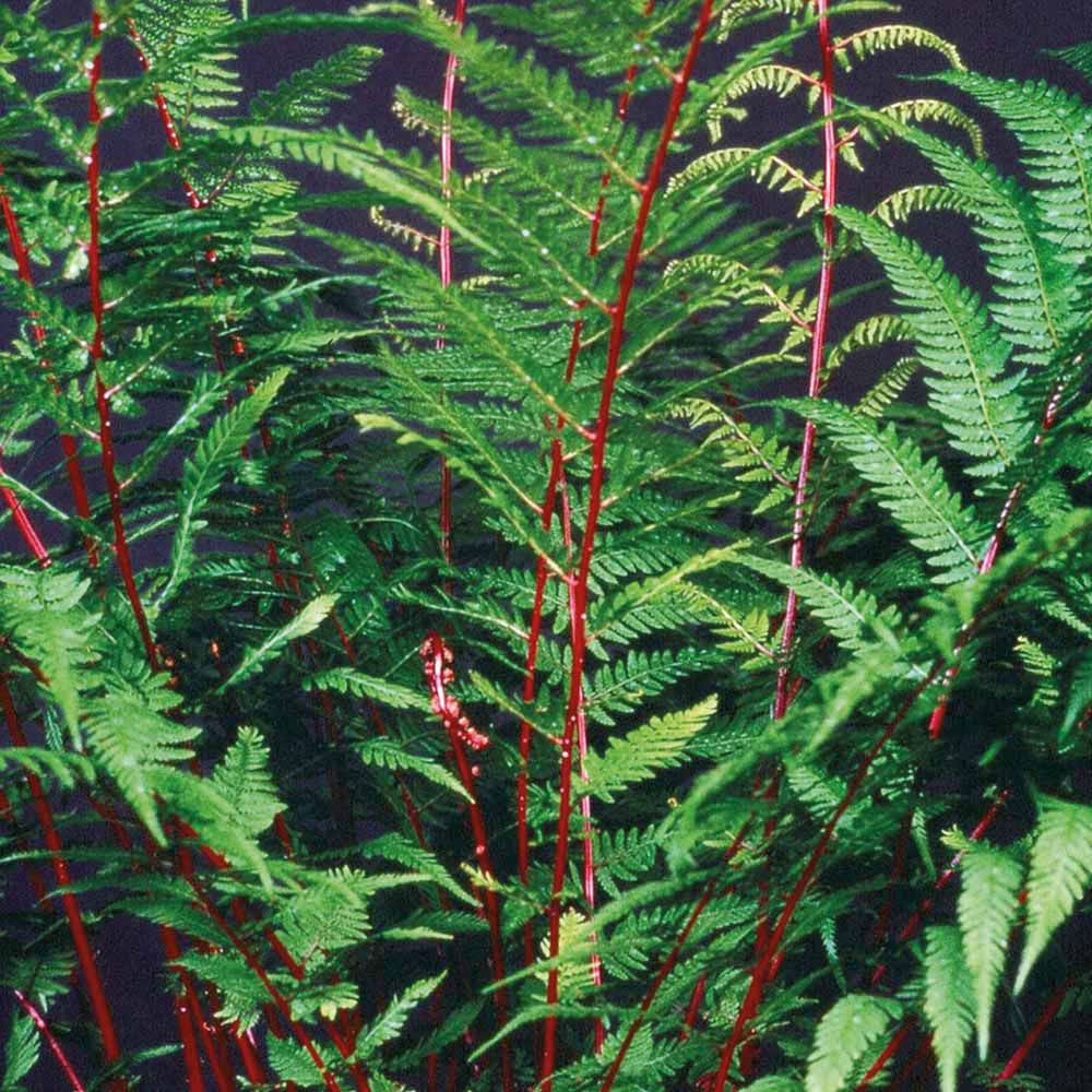 Image of Fern 'Fantastic Lady In Red'