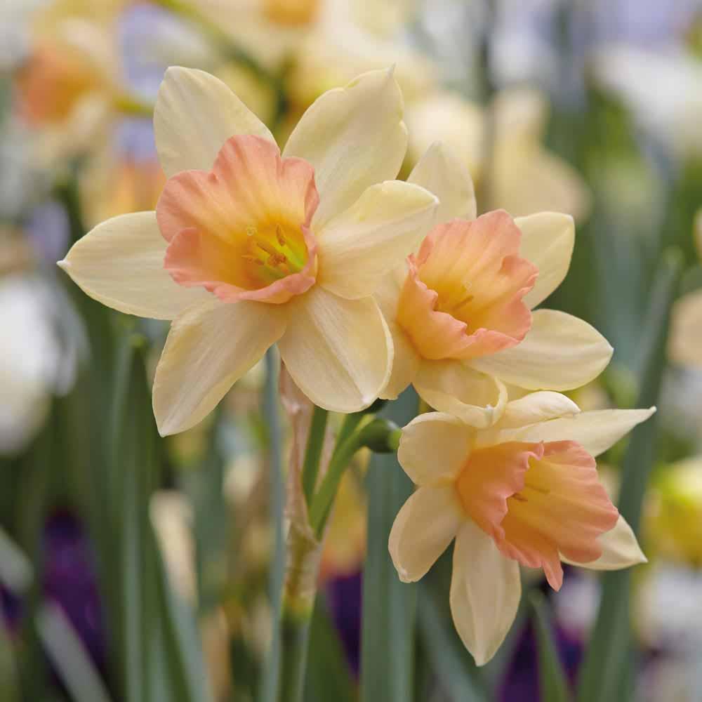 Image of Narcissus 'Blushing Lady'