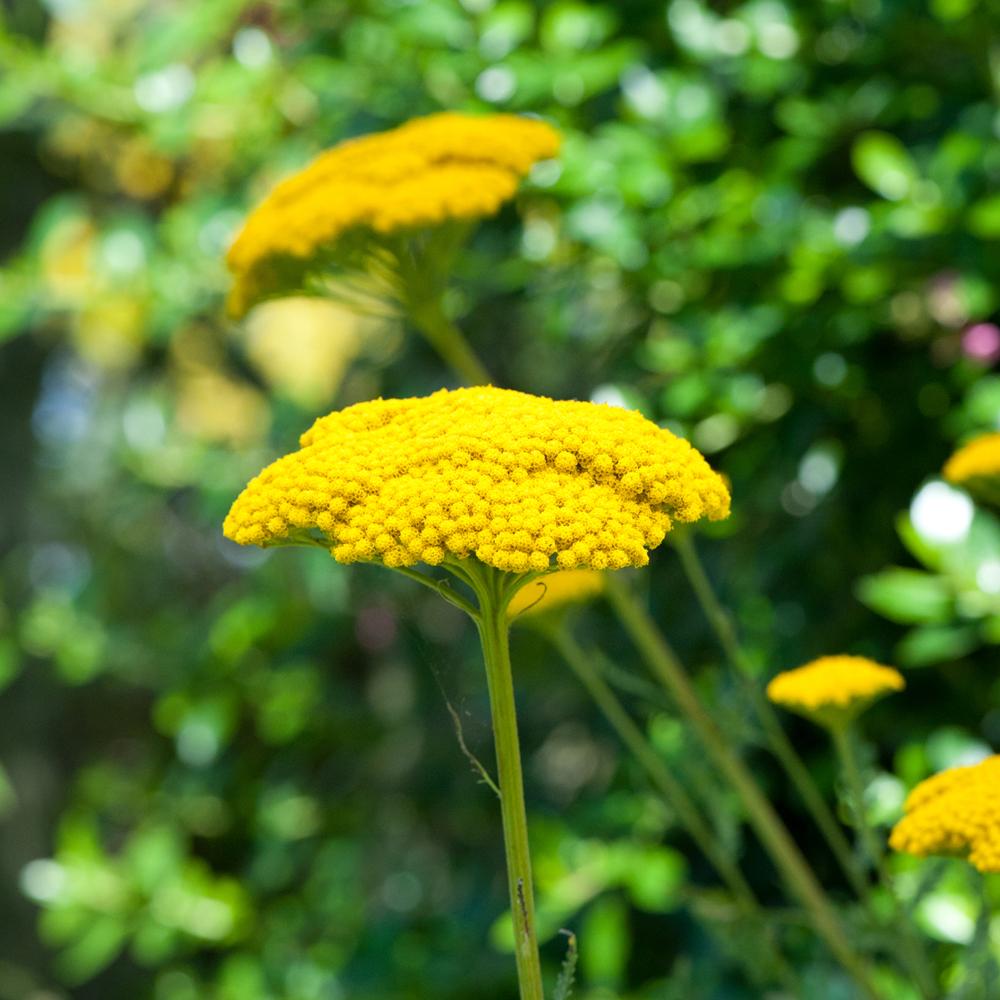 Yellow Perennials At Thompson Morgan
