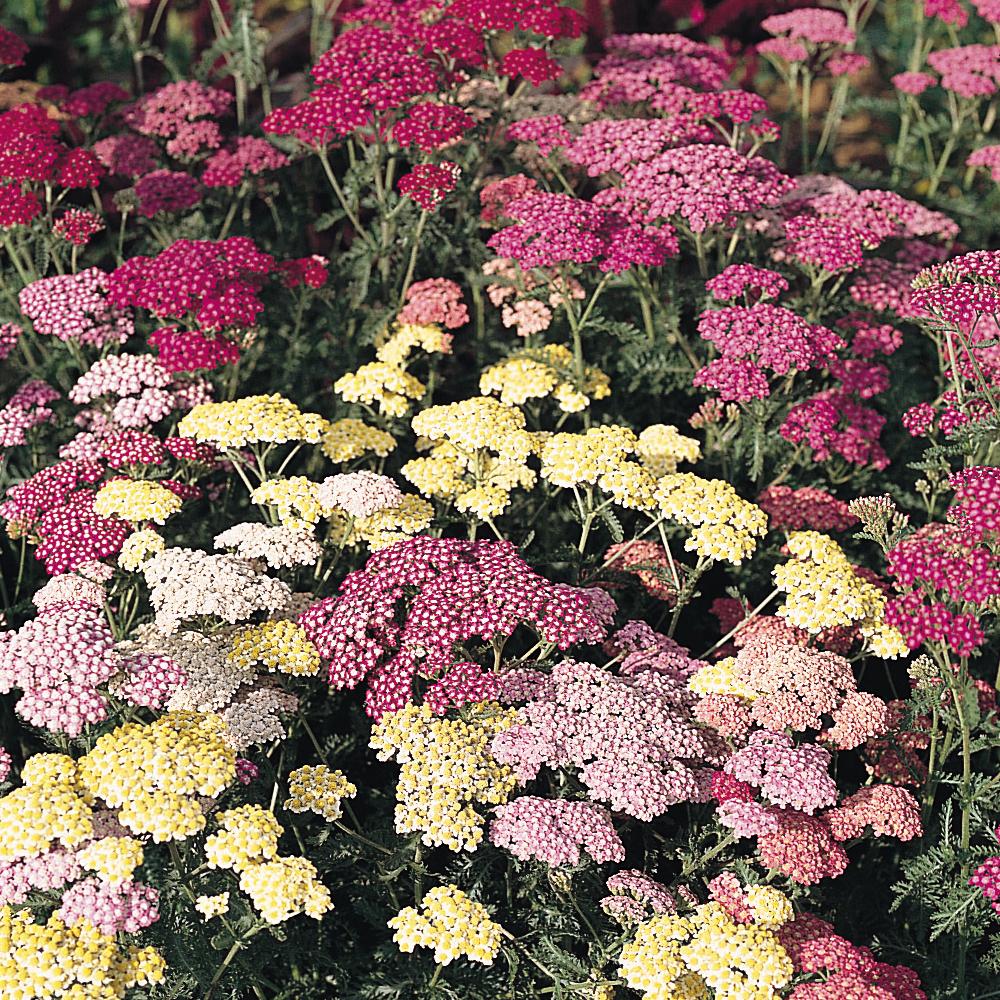 Image of Achillea millefolium 'Summer Pastels'