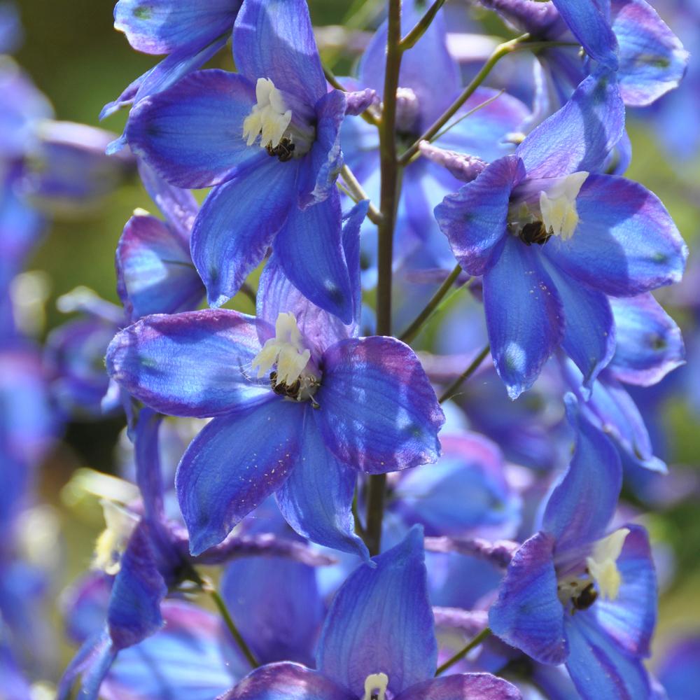 Image of Delphinium 'Blue Bird' (Pacific Hybrid)