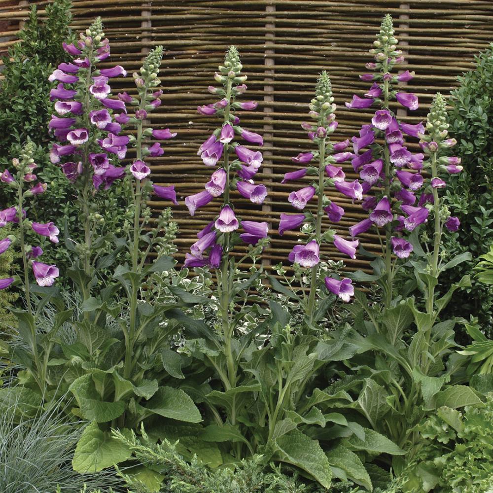 Image of Foxglove 'Dalmation Purple'